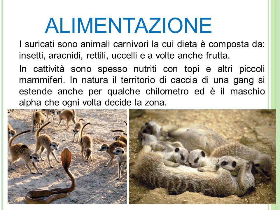 ALIMENTAZIONE I suricati sono animali carnivori la cui dieta è composta da: insetti, aracnidi, rettili, uccelli e a volte anche frutta.