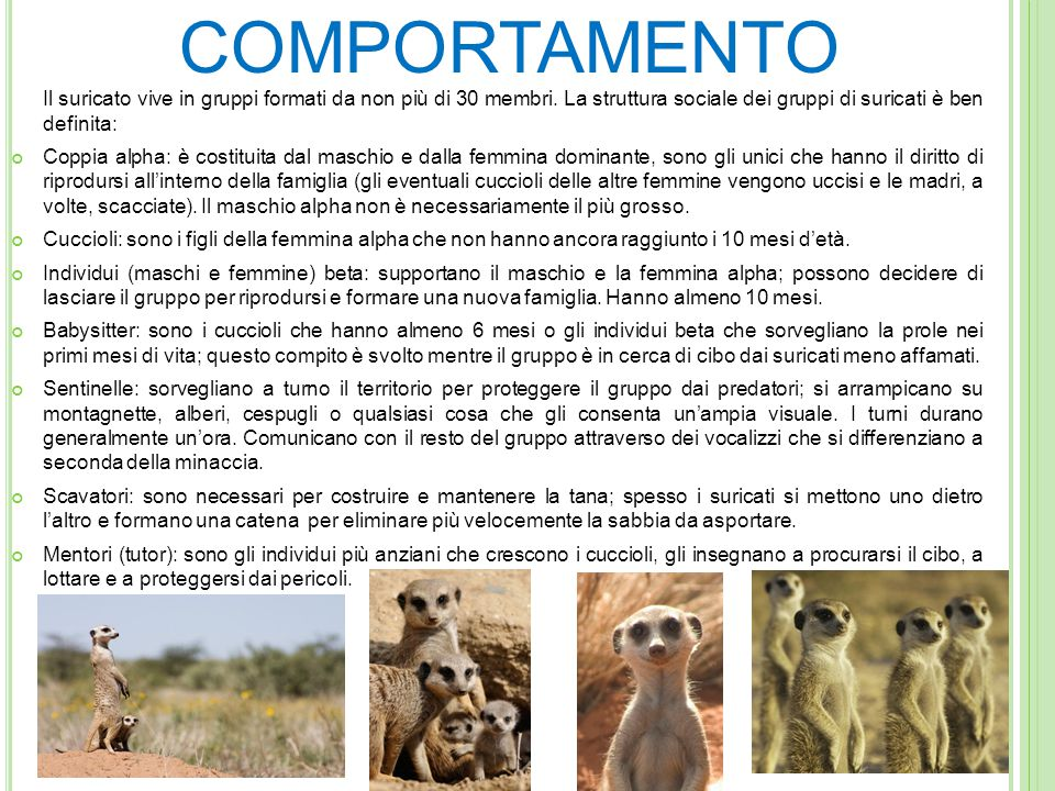ALIMENTAZIONE I suricati sono animali carnivori la cui dieta è composta da: insetti, aracnidi, rettili, uccelli e a volte anche frutta. In cattività s