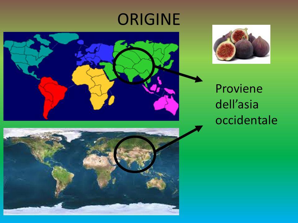 FICO CARATTERISTICHE E una pianta molto resistente alla siccità e vegeta nelle regioni della vite, dell olivo e degli agrumi.