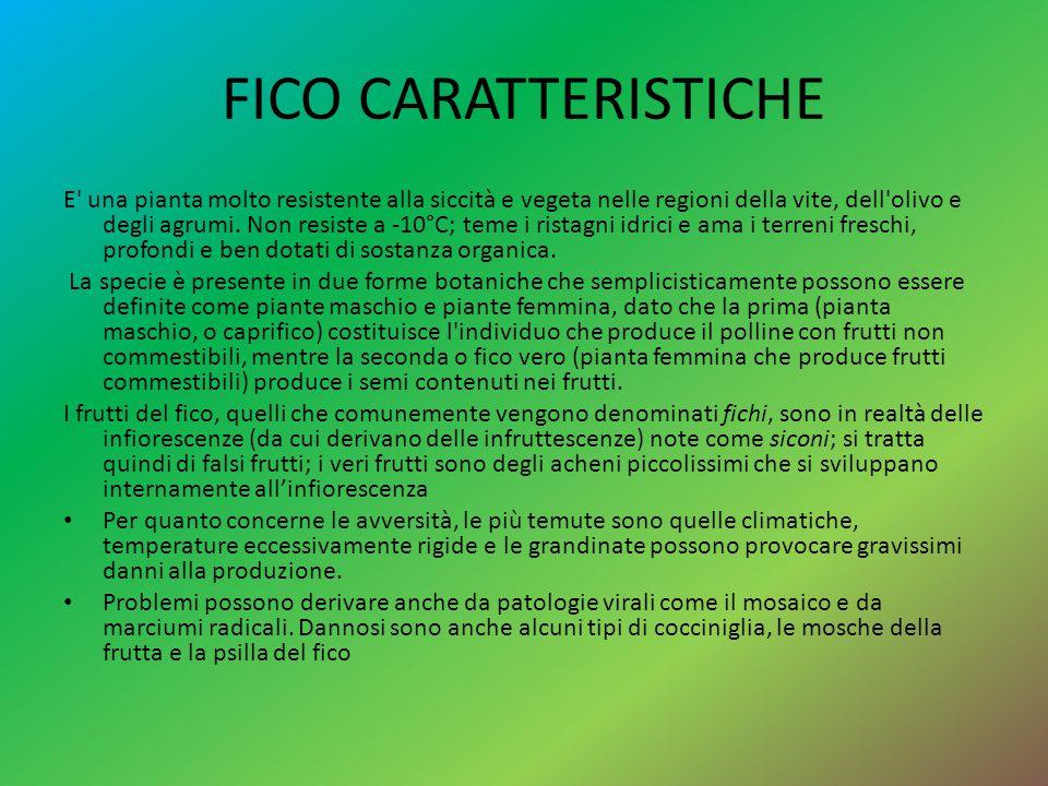 FICO CARATTERISTICHE E' una pianta molto resistente alla siccità e vegeta nelle regioni della vite, dell'olivo e degli agrumi. Non resiste a -10°C; te
