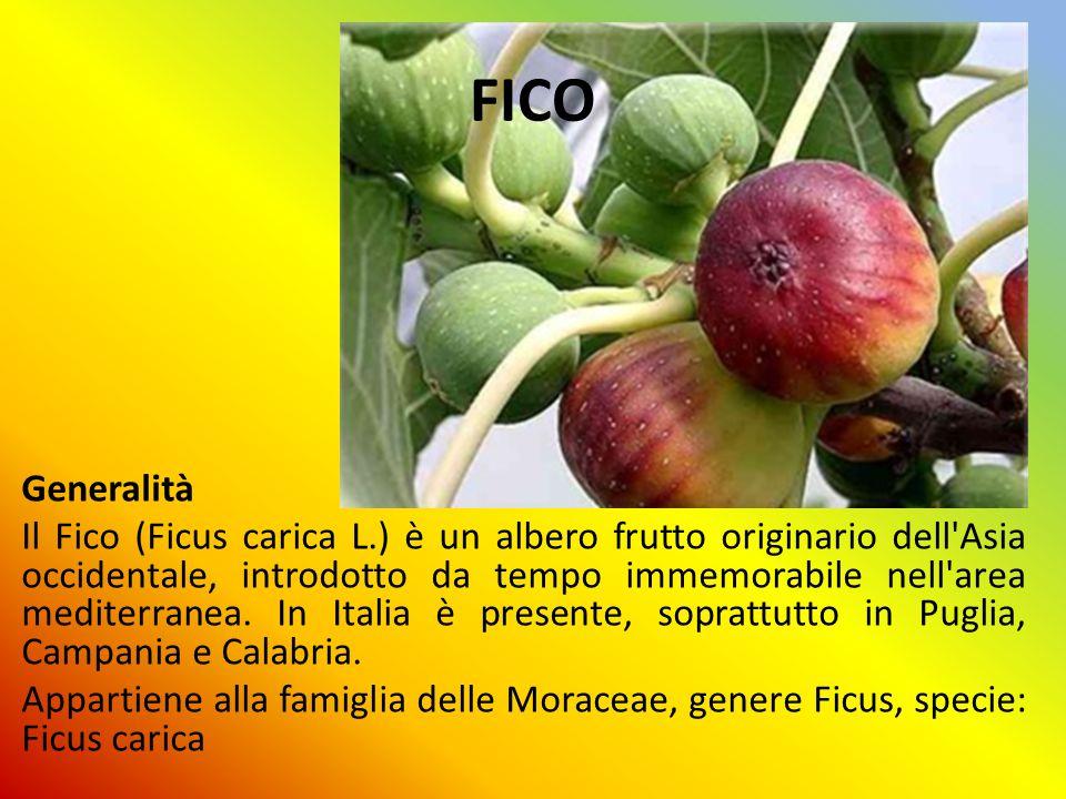 FICO Generalità Il Fico (Ficus carica L.) è un albero frutto originario dell'Asia occidentale, introdotto da tempo immemorabile nell'area mediterranea
