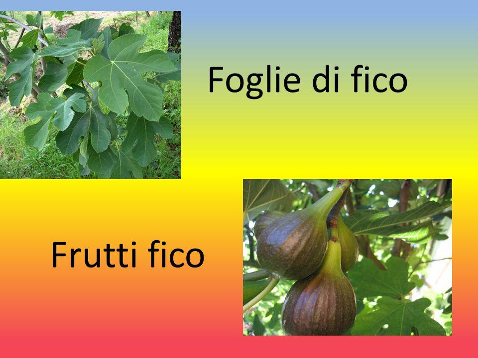 I FICHI: le varietà I fichi si dividono in fioroni che maturano a maggio, forniti che maturano da luglio e tardivi che maturano a settembre.