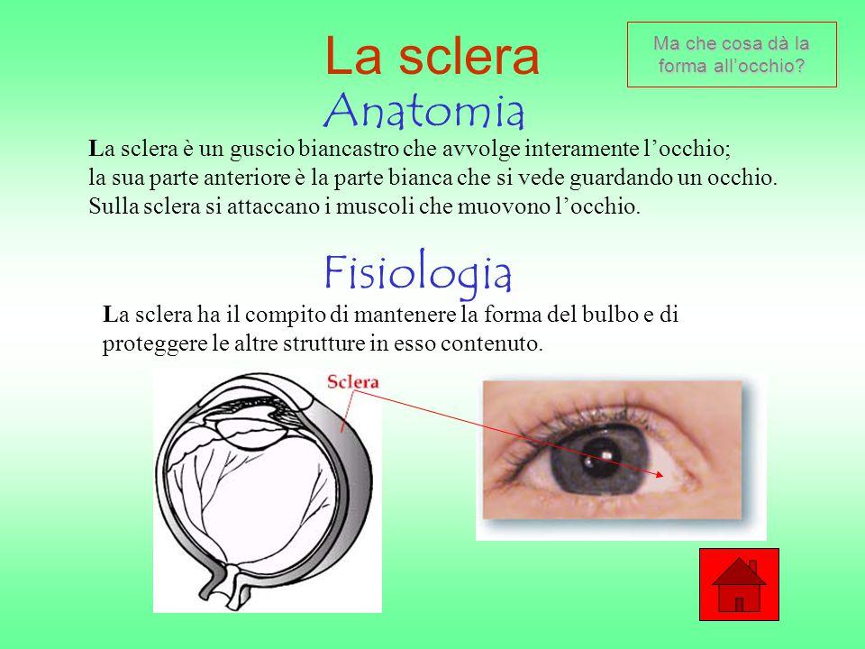 L'angolo camerulare Anatomia Fisiologia L'angolo camerulare è quella parte dell'occhio compresa tra la cornea e l'iride.