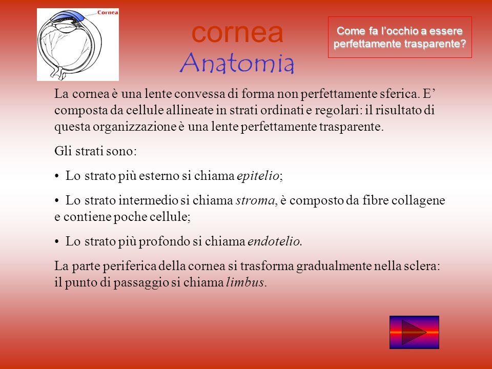 cornea Anatomia La cornea è una lente convessa di forma non perfettamente sferica.