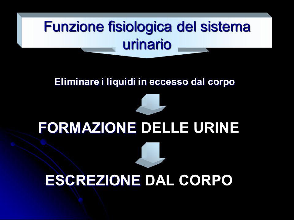 Eliminare i liquidi in eccesso dal corpo Funzione fisiologica del sistema urinario FORMAZIONE FORMAZIONE DELLE URINE ESCREZIONE ESCREZIONE DAL CORPO