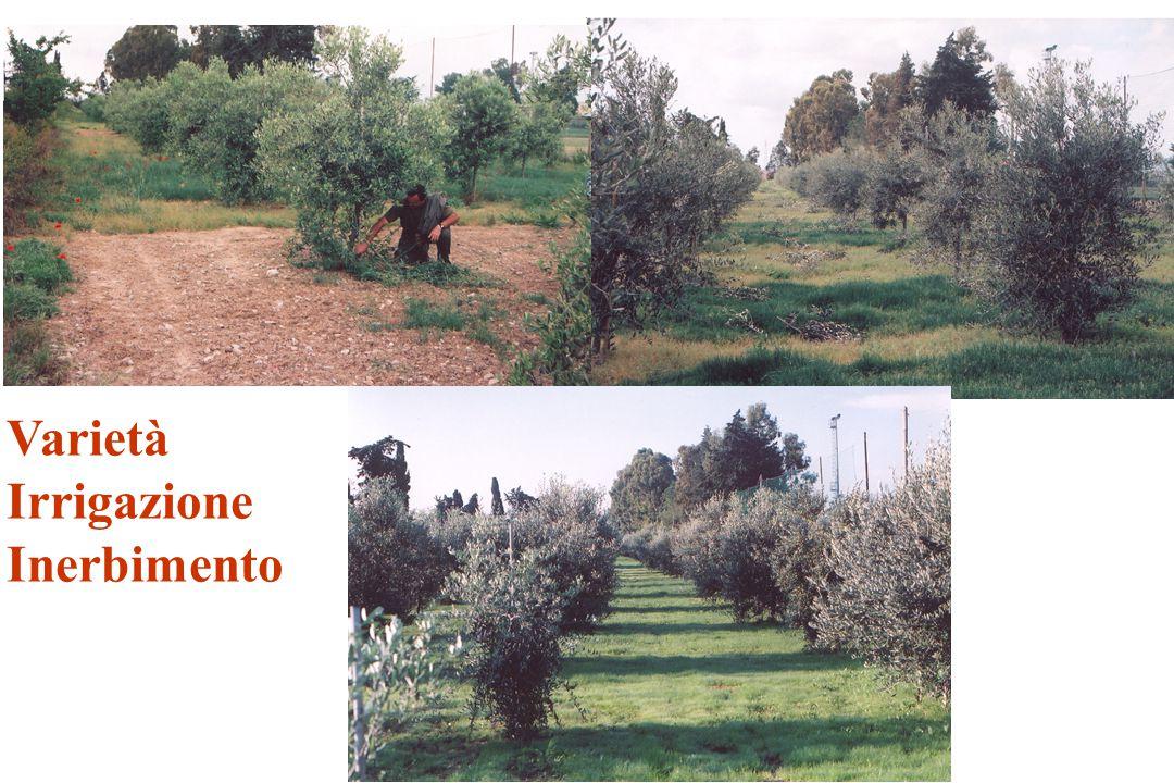 Fattori agronomici e mosca - Carico di frutti - Dimensione dei frutti - Precocità di maturazione - Sospendere l'irrigazione Raccolta precoce delle olive -Raccolta completa del prodotto (anche da terra).