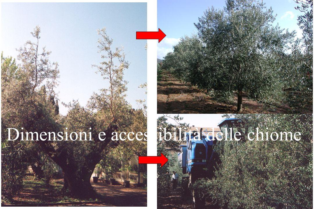 Olive in luoghi asciutti e ventilati Temperatura di conservazione Breve intervallo tra raccolta e frangitura
