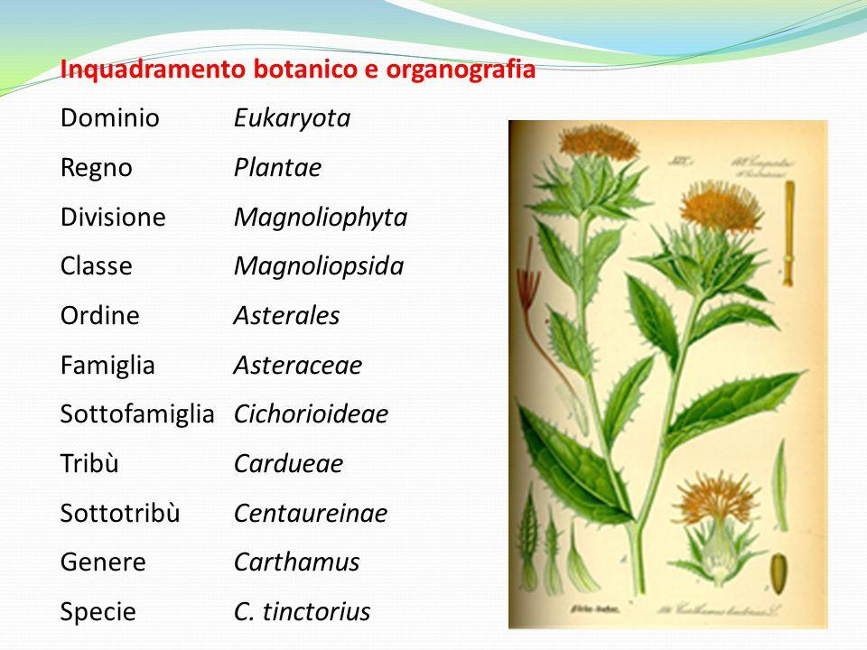 Inquadramento botanico e organografia DominioEukaryota RegnoPlantae DivisioneMagnoliophyta ClasseMagnoliopsida OrdineAsterales FamigliaAsteraceae SottofamigliaCichorioideae TribùCardueae SottotribùCentaureinae GenereCarthamus SpecieC.
