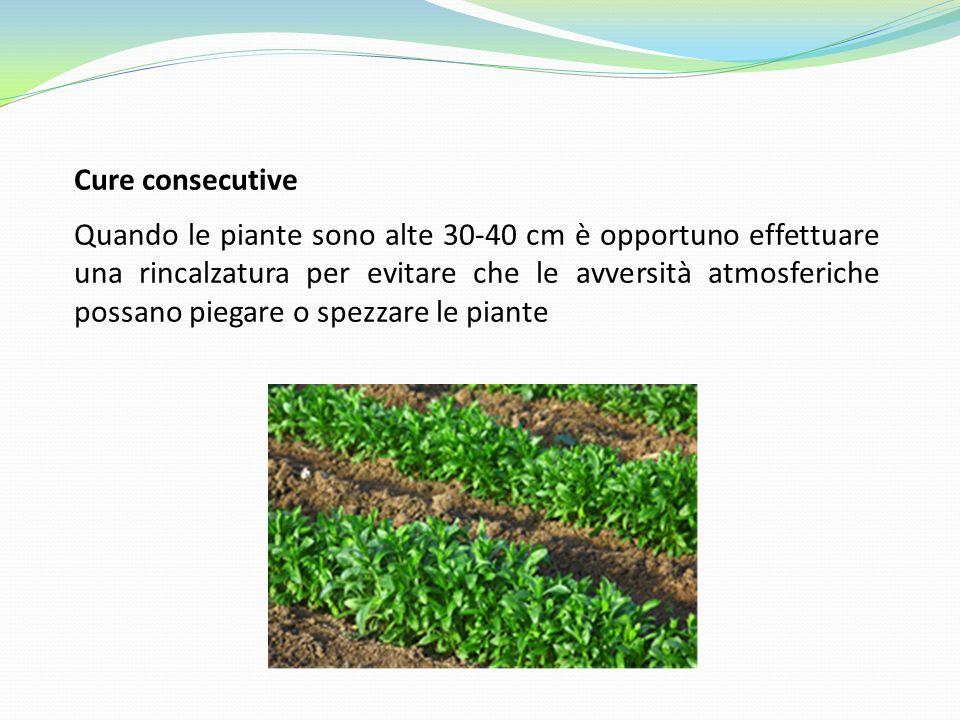 Cure consecutive Quando le piante sono alte 30-40 cm è opportuno effettuare una rincalzatura per evitare che le avversità atmosferiche possano piegare o spezzare le piante