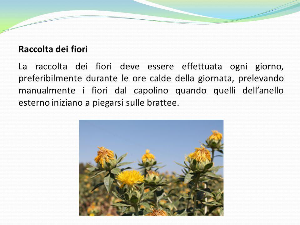 Raccolta dei fiori La raccolta dei fiori deve essere effettuata ogni giorno, preferibilmente durante le ore calde della giornata, prelevando manualmen