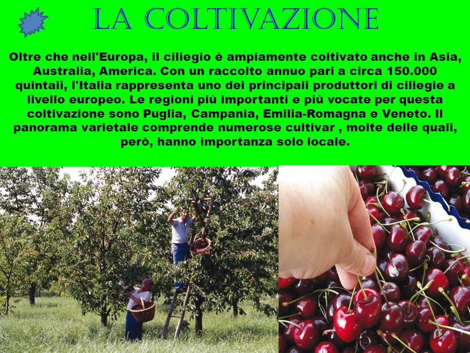 La coltivazione Oltre che nell'Europa, il ciliegio è ampiamente coltivato anche in Asia, Australia, America. Con un raccolto annuo pari a circa 150.00