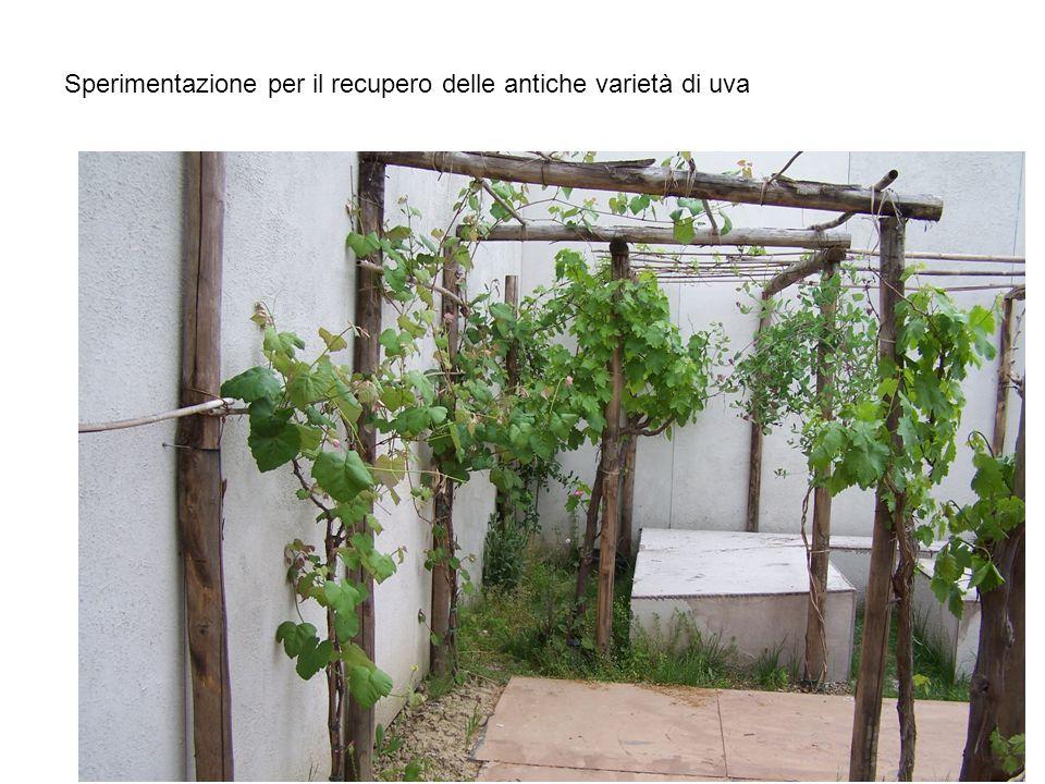 Sperimentazione per il recupero delle antiche varietà di uva