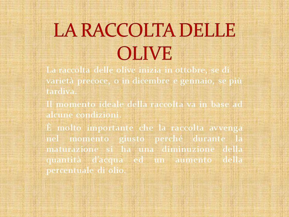 La raccolta delle olive inizia in ottobre, se di varietà precoce, o in dicembre e gennaio, se più tardiva.