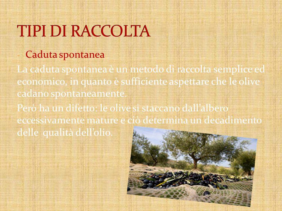 - Caduta spontanea La caduta spontanea è un metodo di raccolta semplice ed economico, in quanto è sufficiente aspettare che le olive cadano spontaneamente.