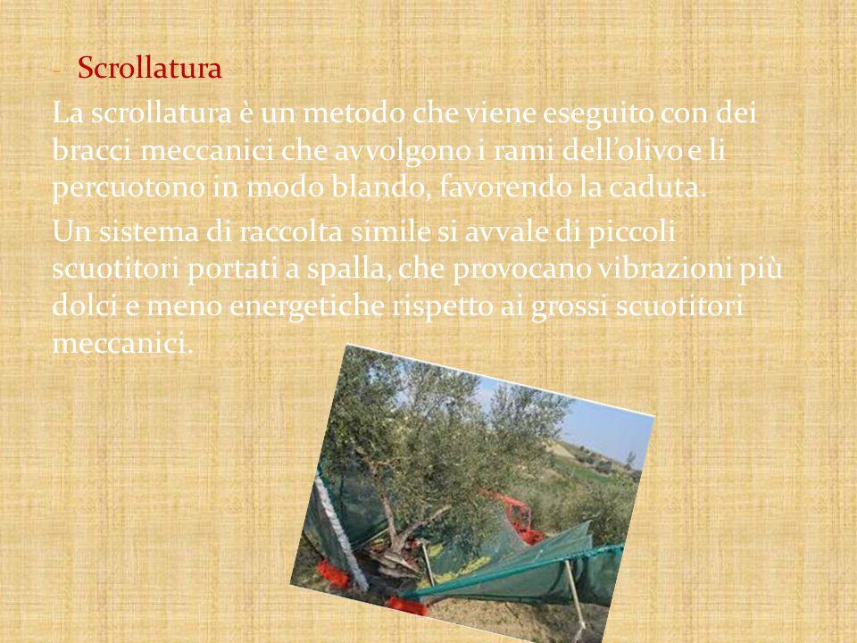 - Scrollatura La scrollatura è un metodo che viene eseguito con dei bracci meccanici che avvolgono i rami dell'olivo e li percuotono in modo blando, favorendo la caduta.