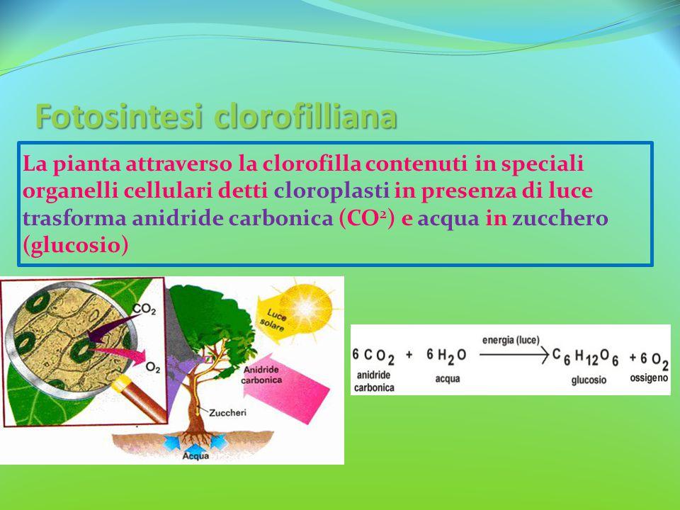 Fotosintesi clorofilliana La pianta attraverso la clorofilla contenuti in speciali organelli cellulari detti cloroplasti in presenza di luce trasforma