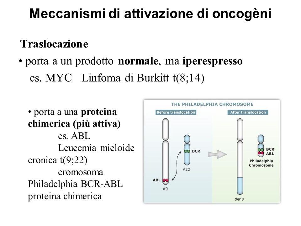 Meccanismi di attivazione di oncogèni Traslocazione porta a un prodotto normale, ma iperespresso es. MYC Linfoma di Burkitt t(8;14) porta a una protei