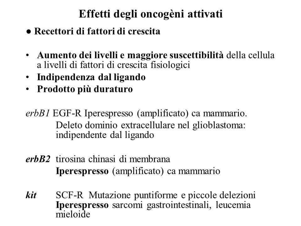 Effetti degli oncogèni attivati ● Recettori di fattori di crescita Aumento dei livelli e maggiore suscettibilità della cellula a livelli di fattori di