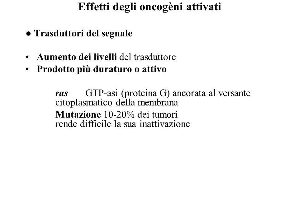 Effetti degli oncogèni attivati ● Trasduttori del segnale Aumento dei livelli del trasduttore Prodotto più duraturo o attivo rasGTP-asi (proteina G) a
