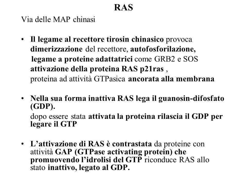 RAS Via delle MAP chinasi Il legame al recettore tirosin chinasico provoca dimerizzazione del recettore, autofosforilazione, legame a proteine adattat