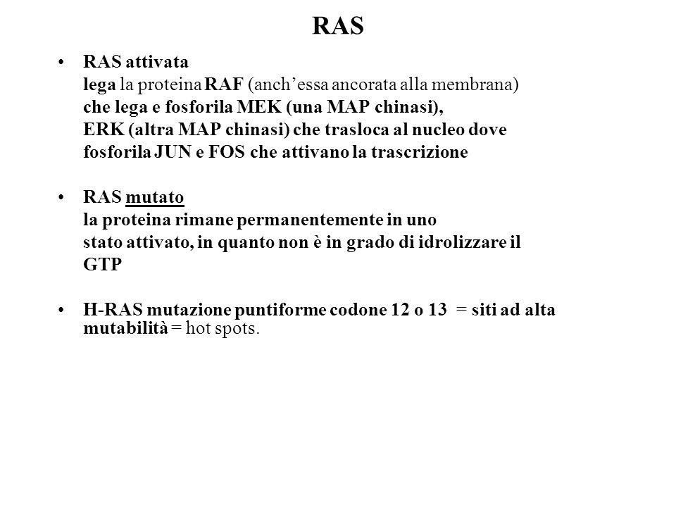 RAS RAS attivata lega la proteina RAF (anch'essa ancorata alla membrana) che lega e fosforila MEK (una MAP chinasi), ERK (altra MAP chinasi) che trasl