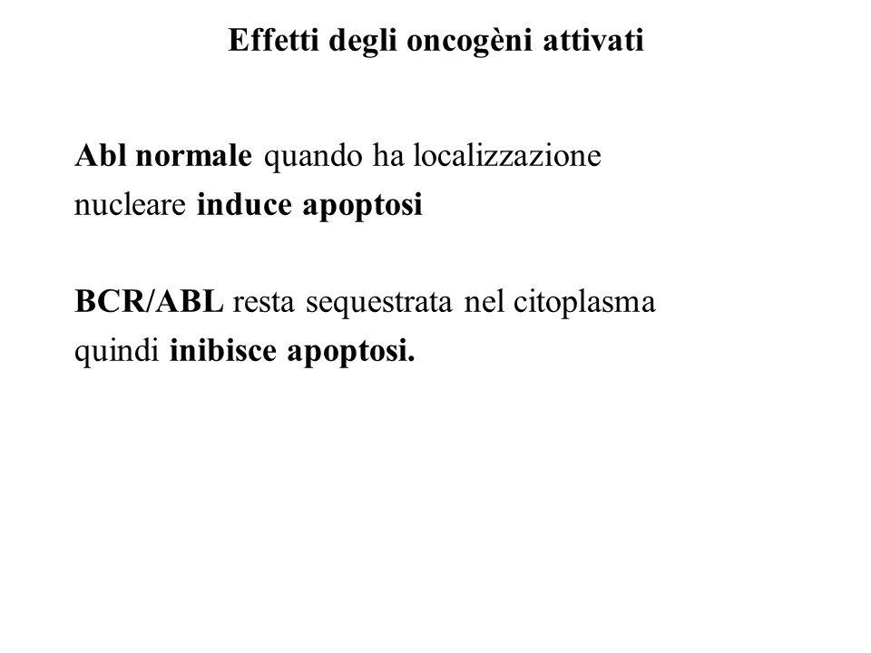 Effetti degli oncogèni attivati Abl normale quando ha localizzazione nucleare induce apoptosi BCR/ABL resta sequestrata nel citoplasma quindi inibisce