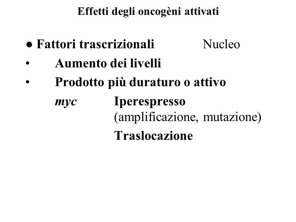 Effetti degli oncogèni attivati ● Fattori trascrizionali Nucleo Aumento dei livelli Prodotto più duraturo o attivo mycIperespresso (amplificazione, mu