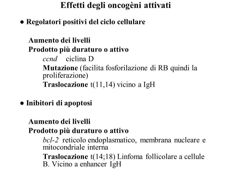 Effetti degli oncogèni attivati ● Regolatori positivi del ciclo cellulare Aumento dei livelli Prodotto più duraturo o attivo ccnd ciclina D Mutazione