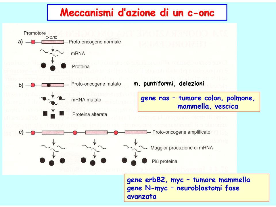 Effetti degli oncogèni attivati ● Regolatori positivi del ciclo cellulare Aumento dei livelli Prodotto più duraturo o attivo ccnd ciclina D Mutazione (facilita fosforilazione di RB quindi la proliferazione) Traslocazione t(11,14) vicino a IgH ● Inibitori di apoptosi Aumento dei livelli Prodotto più duraturo o attivo bcl-2 reticolo endoplasmatico, membrana nucleare e mitocondriale interna Traslocazione t(14;18) Linfoma follicolare a cellule B.
