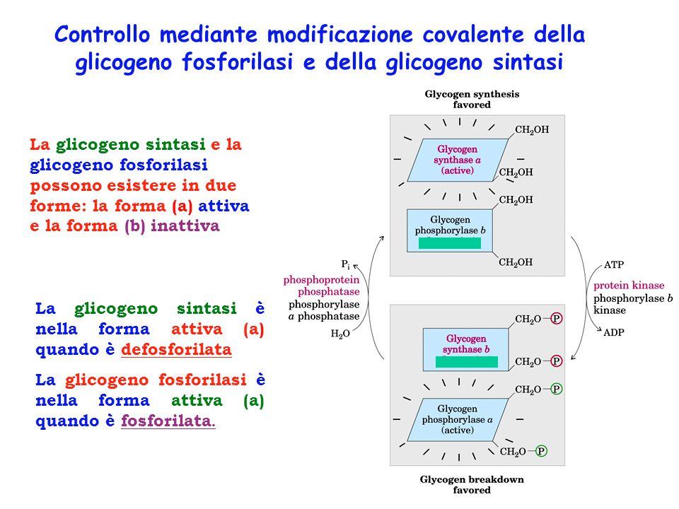La glicogeno sintasi e la glicogeno fosforilasi possono esistere in due forme: la forma (a) attiva e la forma (b) inattiva La glicogeno sintasi è nell