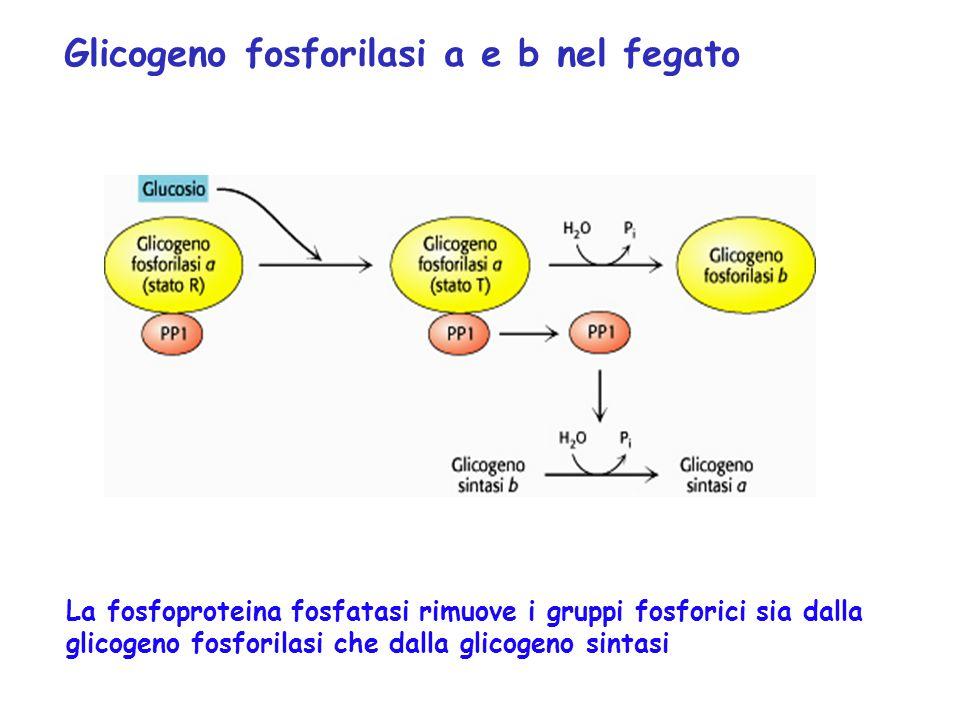 Glicogeno fosforilasi a e b nel fegato La fosfoproteina fosfatasi rimuove i gruppi fosforici sia dalla glicogeno fosforilasi che dalla glicogeno sinta