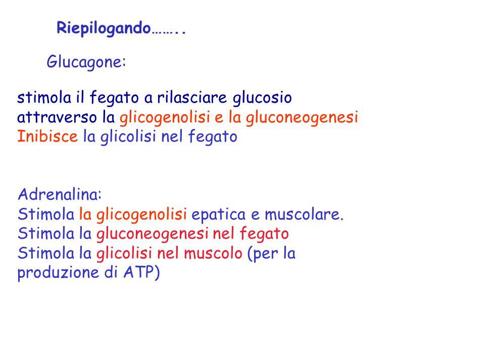 stimola il fegato a rilasciare glucosio attraverso la glicogenolisi e la gluconeogenesi Inibisce la glicolisi nel fegato Adrenalina: Stimola la glicog