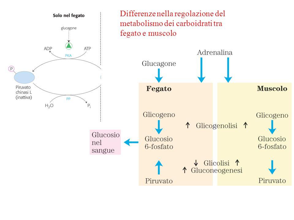 Differenze nella regolazione del metabolismo dei carboidrati tra fegato e muscolo