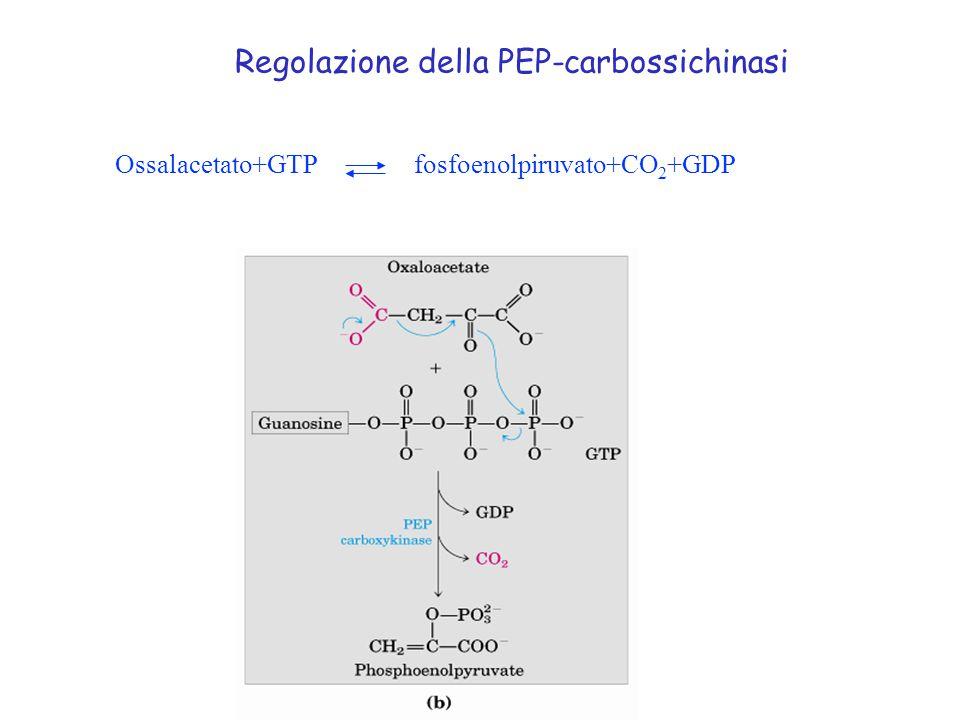 Ossalacetato+GTP fosfoenolpiruvato+CO 2 +GDP Regolazione della PEP-carbossichinasi