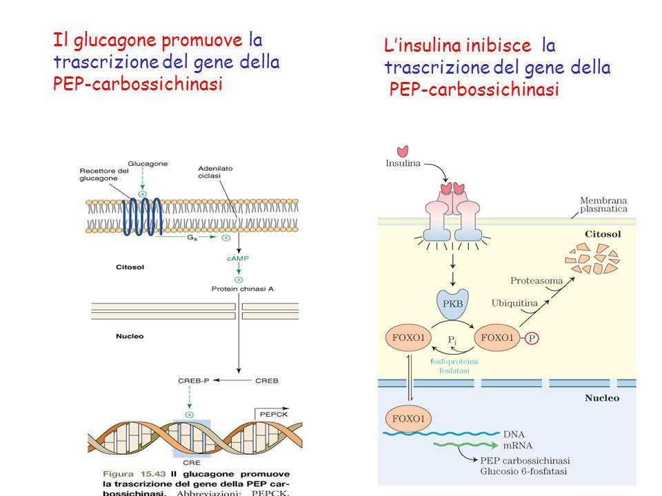Il glucagone promuove la trascrizione del gene della PEP-carbossichinasi L'insulina inibisce la trascrizione del gene della PEP-carbossichinasi