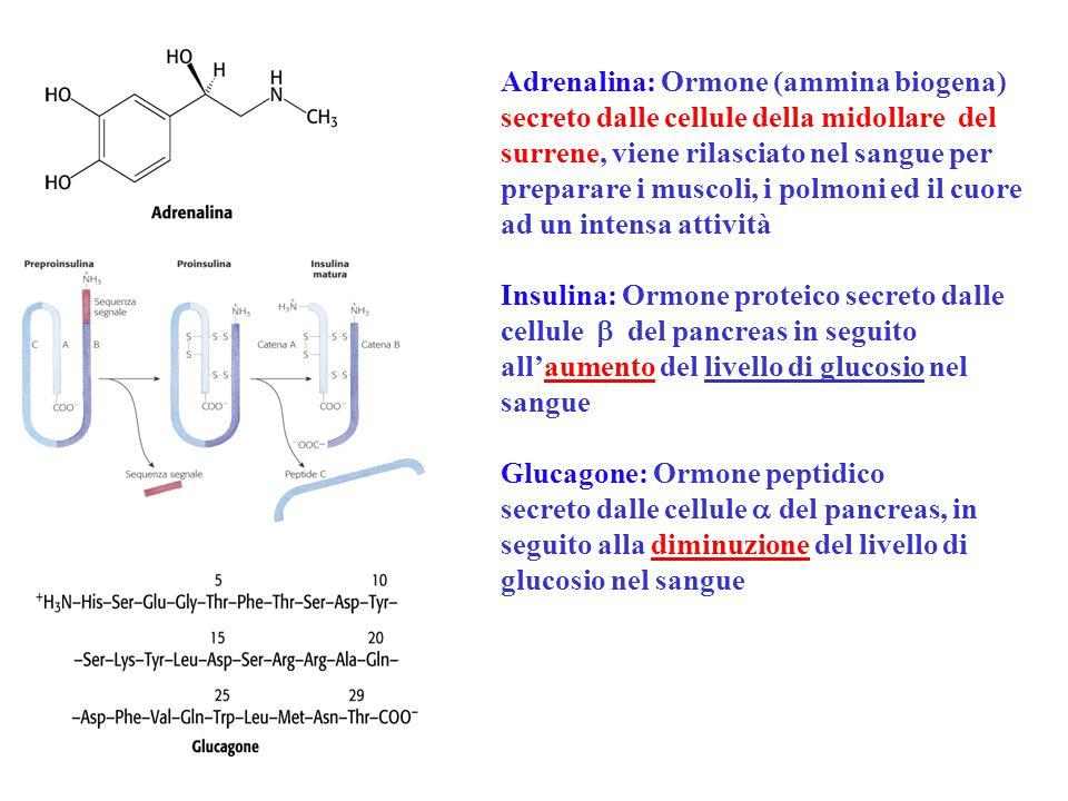Adrenalina: Ormone (ammina biogena) secreto dalle cellule della midollare del surrene, viene rilasciato nel sangue per preparare i muscoli, i polmoni