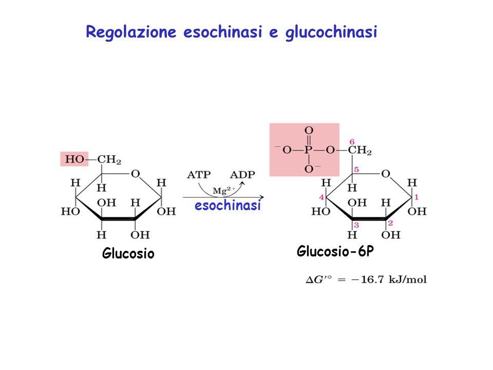 Glucosio Glucosio-6P esochinasi Regolazione esochinasi e glucochinasi