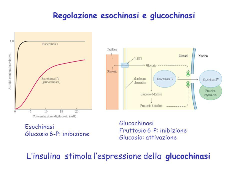 Glucochinasi Fruttosio 6-P: inibizione Glucosio: attivazione L'insulina stimola l'espressione della glucochinasi Esochinasi Glucosio 6-P: inibizione