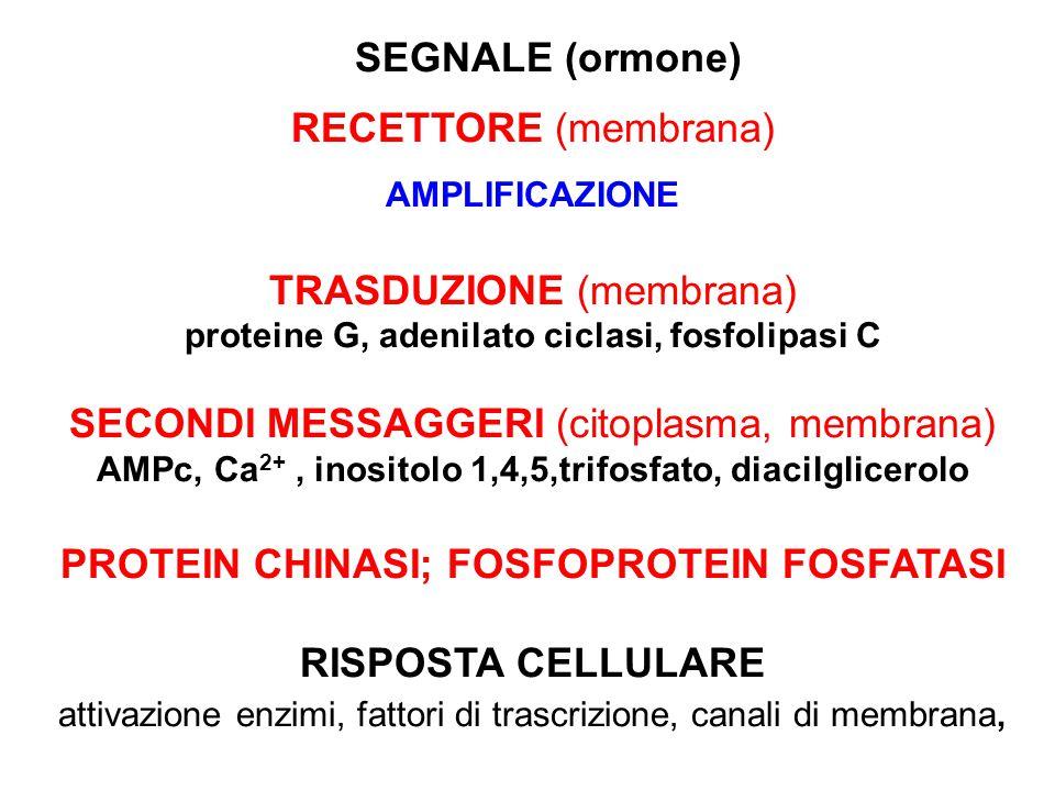 SEGNALE (ormone) RECETTORE (membrana) AMPLIFICAZIONE TRASDUZIONE (membrana) proteine G, adenilato ciclasi, fosfolipasi C SECONDI MESSAGGERI (citoplasm