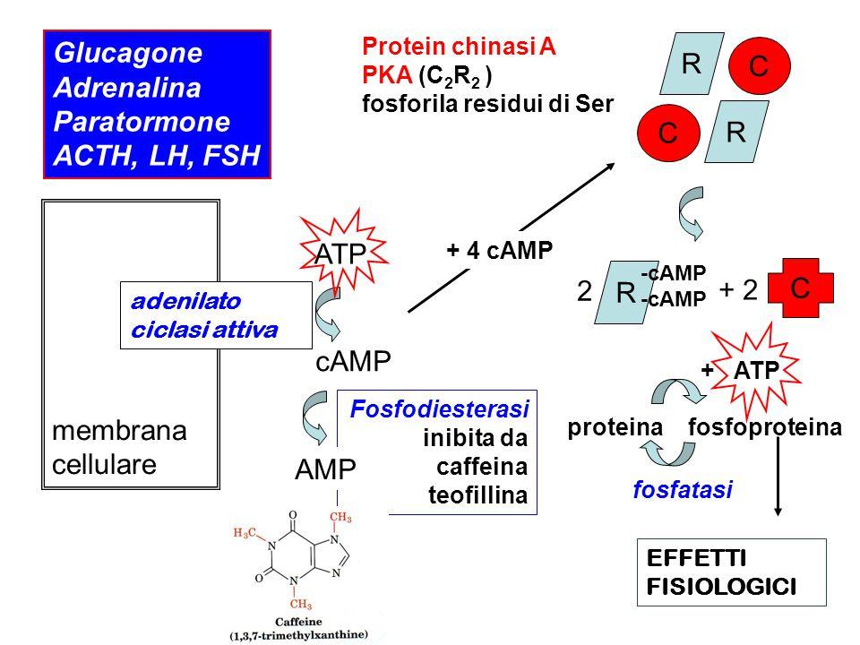 Glucagone Adrenalina Paratormone ACTH, LH, FSH membrana cellulare adenilato ciclasi attiva ATP cAMP Fosfodiesterasi inibita da caffeina teofillina AMP