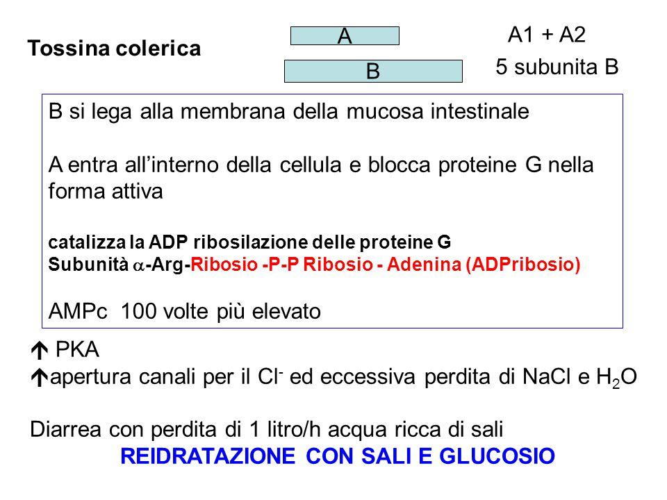 Tossina colerica B A 5 subunita B A1 + A2 B si lega alla membrana della mucosa intestinale A entra all'interno della cellula e blocca proteine G nella