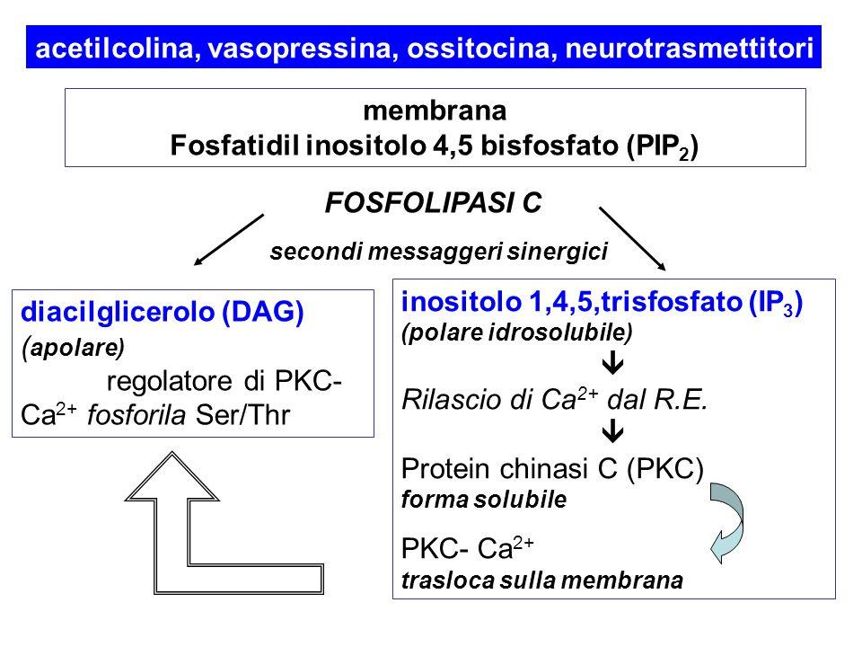 acetilcolina, vasopressina, ossitocina, neurotrasmettitori membrana Fosfatidil inositolo 4,5 bisfosfato (PIP 2 ) FOSFOLIPASI C diacilglicerolo (DAG) (