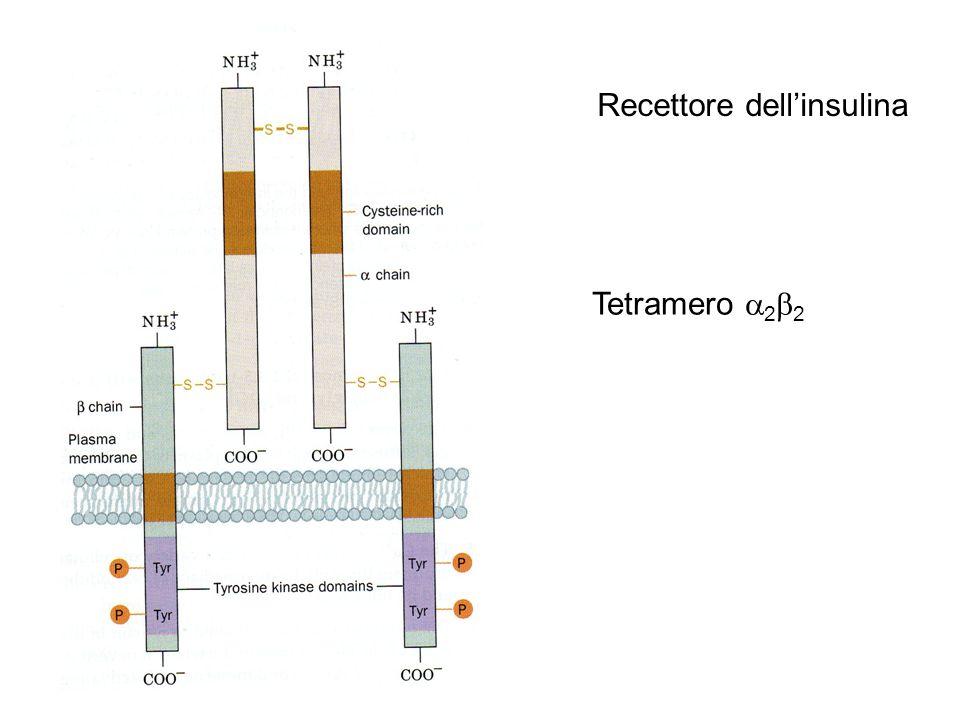 Recettore dell'insulina Tetramero  2  2