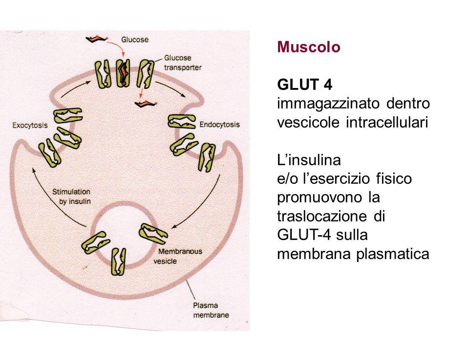 Muscolo GLUT 4 immagazzinato dentro vescicole intracellulari L'insulina e/o l'esercizio fisico promuovono la traslocazione di GLUT-4 sulla membrana pl