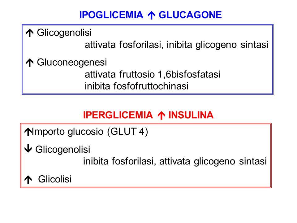 IPOGLICEMIA  GLUCAGONE  Glicogenolisi attivata fosforilasi, inibita glicogeno sintasi  Gluconeogenesi attivata fruttosio 1,6bisfosfatasi inibita fo