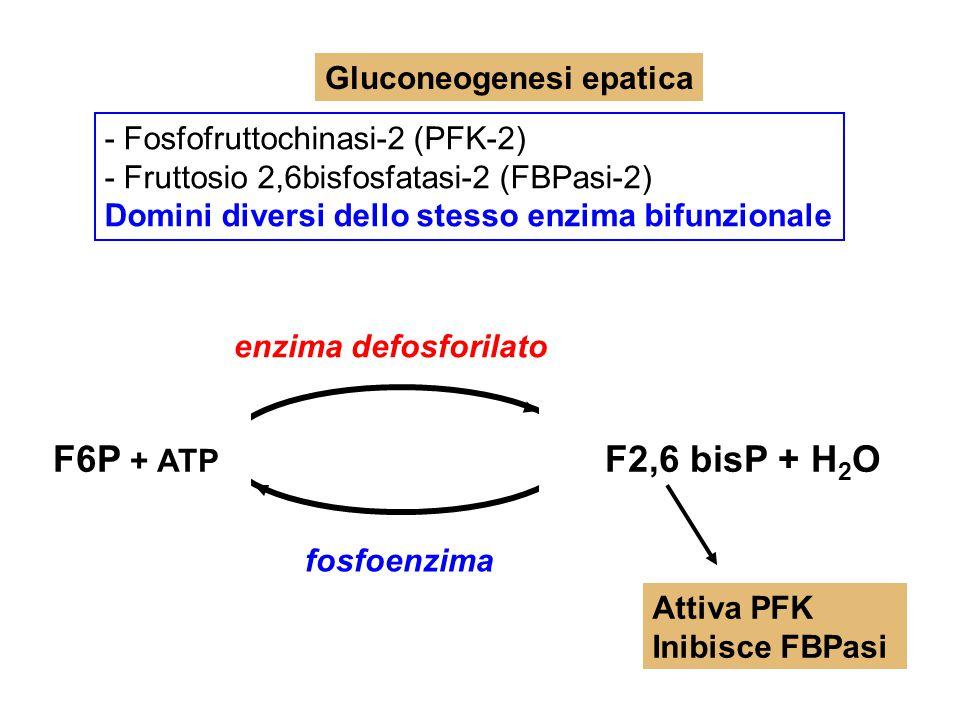 Gluconeogenesi epatica - Fosfofruttochinasi-2 (PFK-2) - Fruttosio 2,6bisfosfatasi-2 (FBPasi-2) Domini diversi dello stesso enzima bifunzionale enzima
