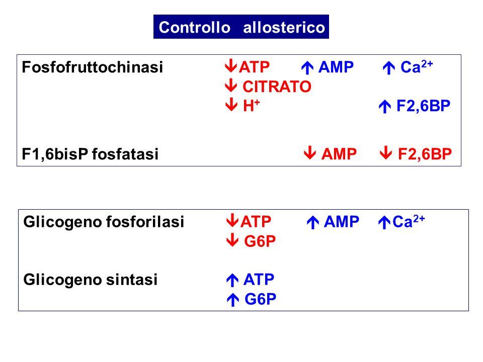 Fosfofruttochinasi  ATP  AMP  Ca 2+  CITRATO  H +  F2,6BP F1,6bisP fosfatasi  AMP  F2,6BP Controllo allosterico Glicogeno fosforilasi  ATP 