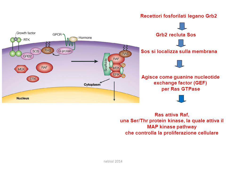 Grb2 recluta Sos Recettori fosforilati legano Grb2 Agisce come guanine nucleotide exchange factor (GEF) per Ras GTPase Sos si localizza sulla membrana Ras attiva Raf, una Ser/Thr protein kinase, la quale attiva il MAP kinase pathway che controlla la proliferazione cellulare nabissi 2014