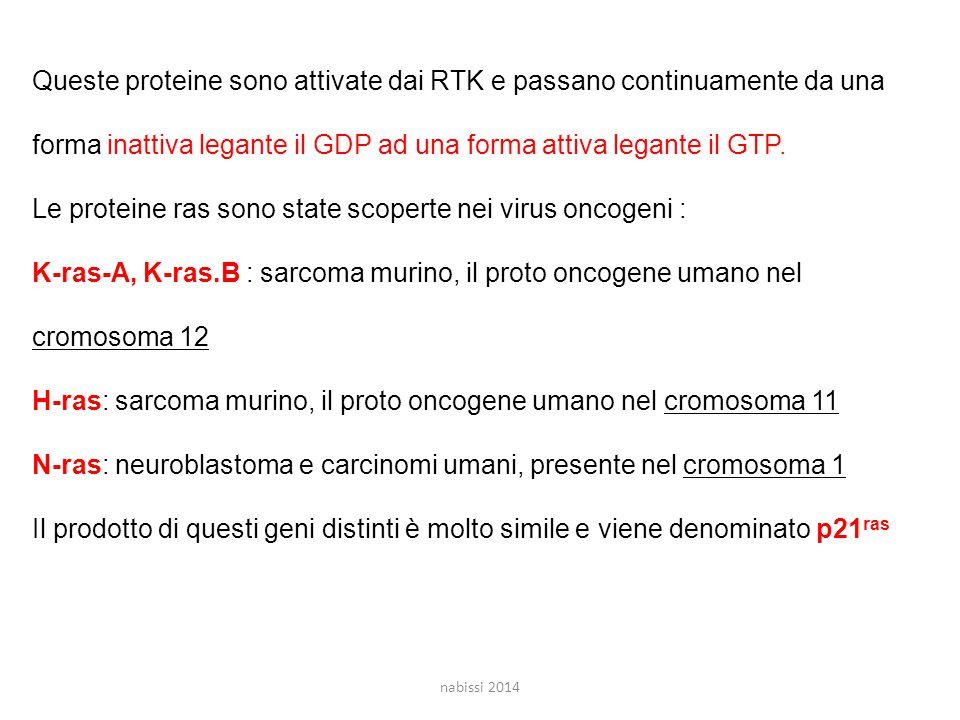 Queste proteine sono attivate dai RTK e passano continuamente da una forma inattiva legante il GDP ad una forma attiva legante il GTP.