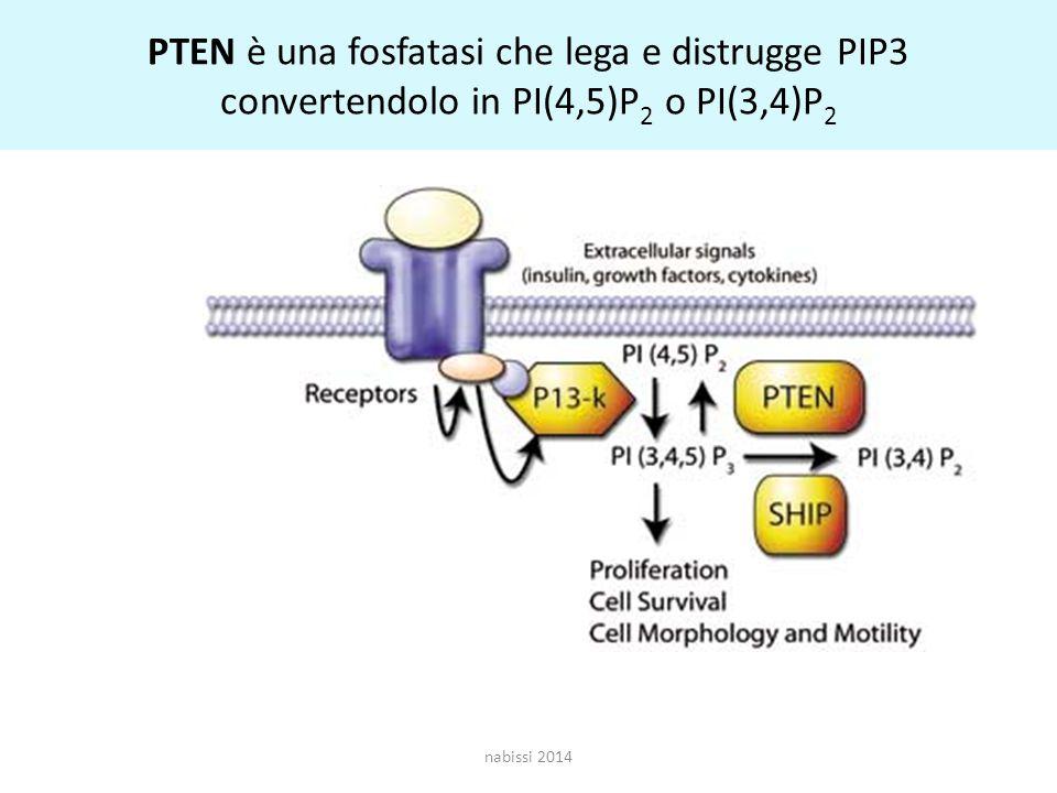 PTEN è una fosfatasi che lega e distrugge PIP3 convertendolo in PI(4,5)P 2 o PI(3,4)P 2 nabissi 2014